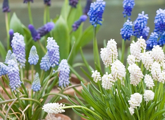 national muscari collection